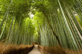 La Historia del Bambú Japonés